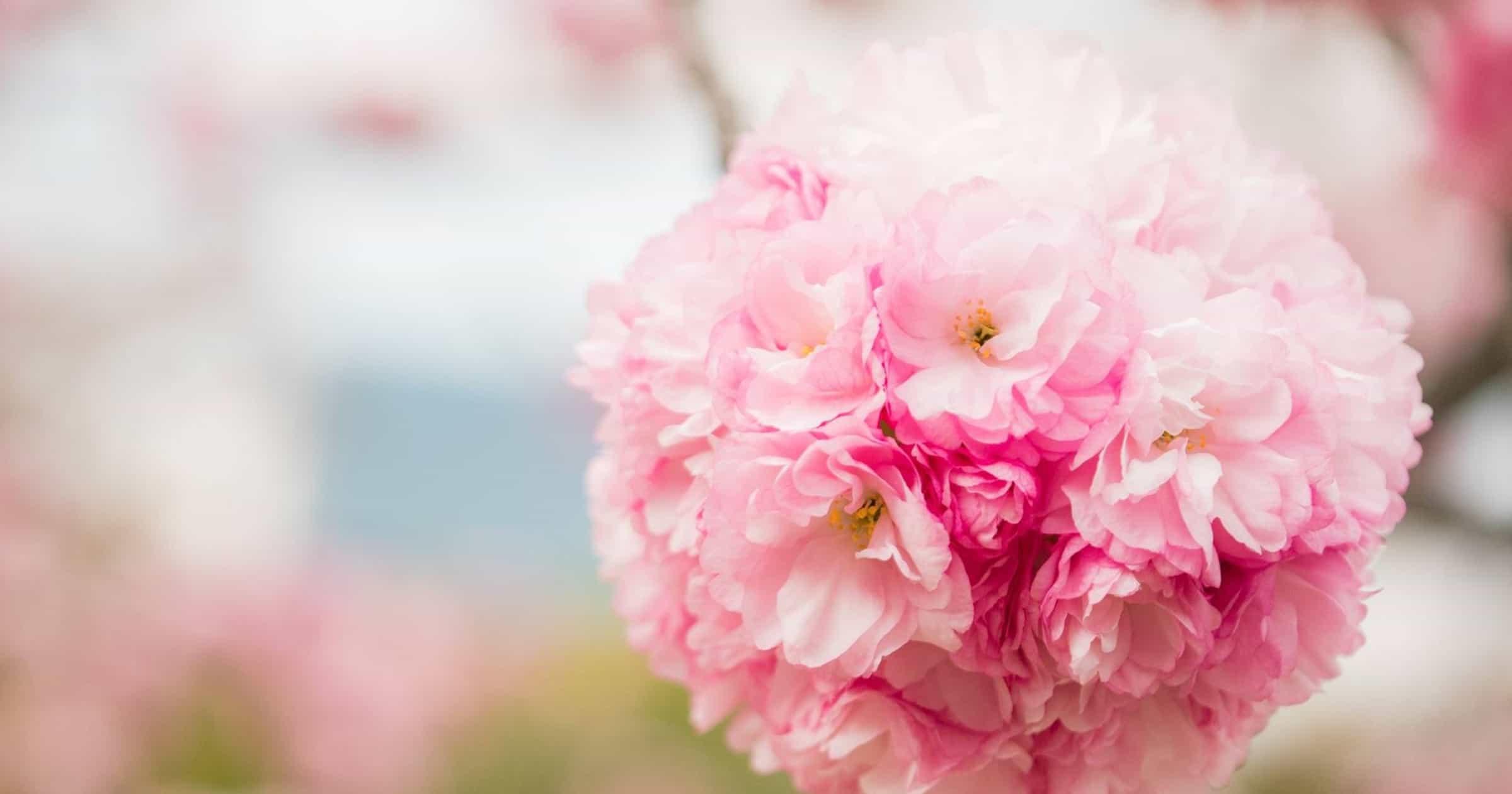 浜離宮の八重桜 カンザン