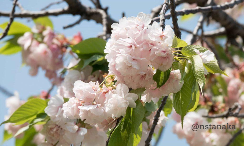 浜離宮の八重桜。一葉(イチヨウ)