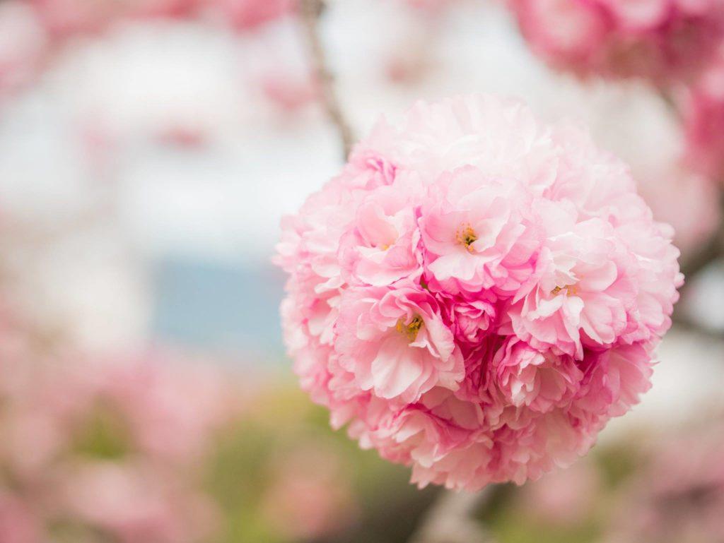 浜離宮で咲いていた八重桜、関山(カンザン)