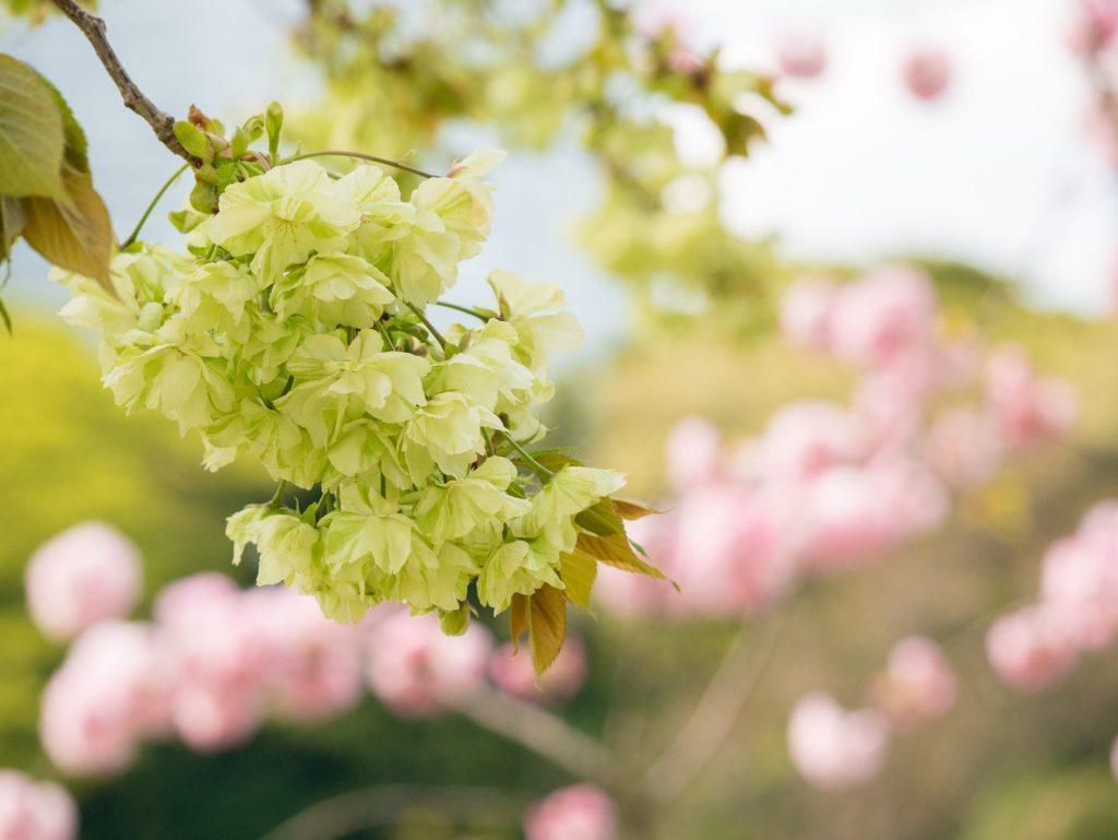 浜離宮に咲いている珍しい緑色の八重桜、鬱金(ウコン)