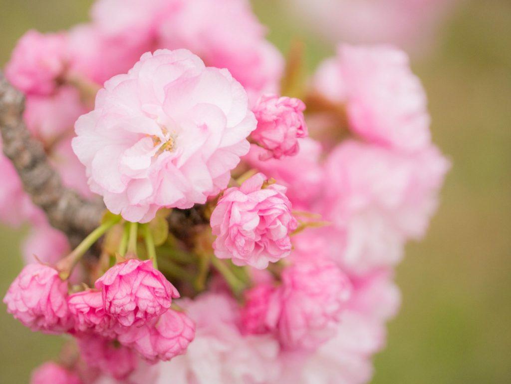 浜離宮の八重桜は桃色が綺麗