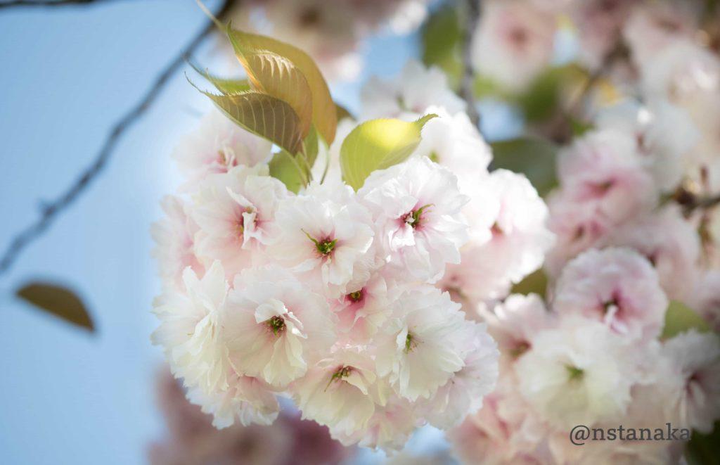 浜離宮の八重桜。普賢象(フゲンゾウ)