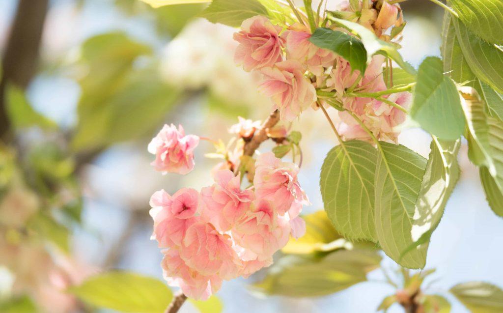 ピンク色に咲いた鬱金(ウコン)